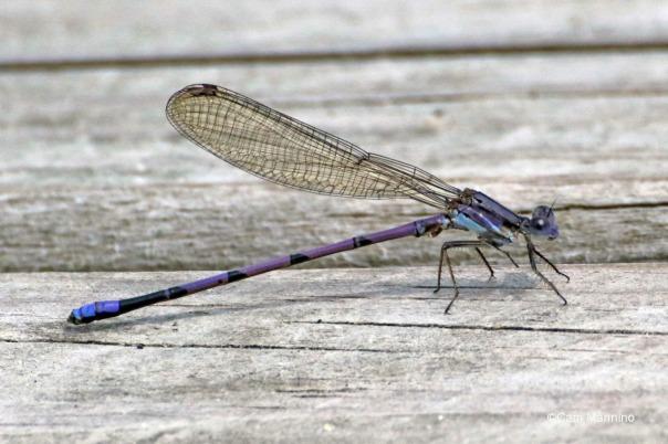 Violet Dancer damselfly Argia fumipennis violacea male