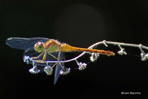 White faced Meadowhawk Dragonfly cropped