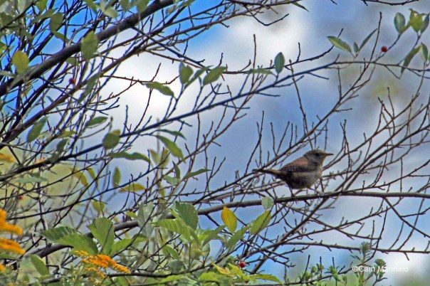 wren in bushes 5