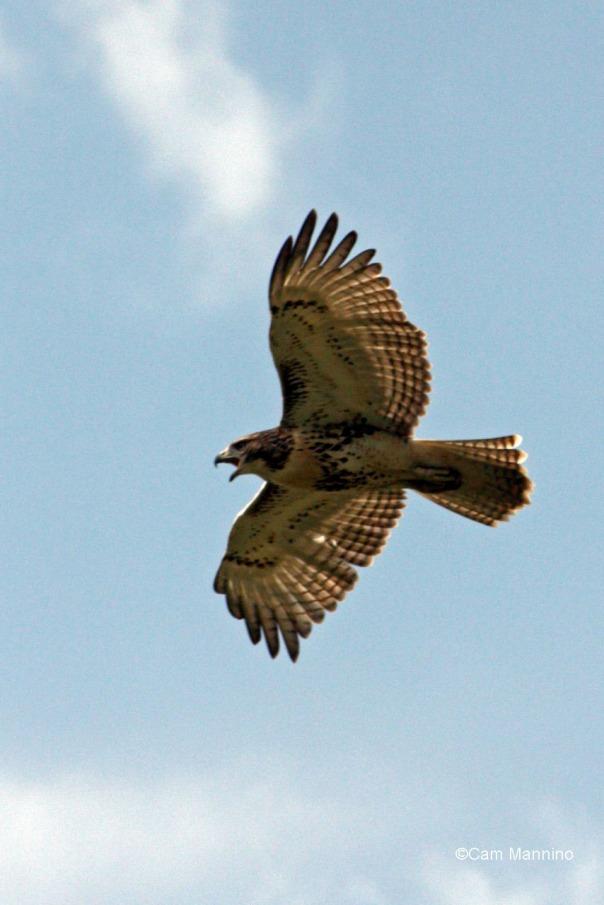 young redtail hawk soaring closeup