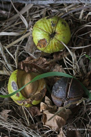 Fruits of the Shagbark Hickory