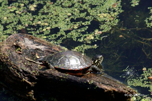 Baby turtle sunning