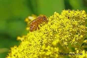 Honey Bee on Goldenrod