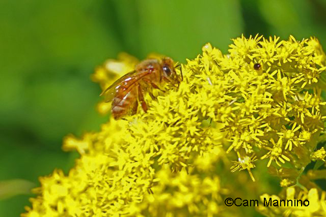 Bee on goldenrod2