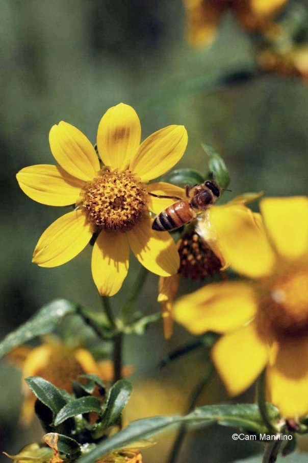 bee on Nodding Beggar-tick marsh