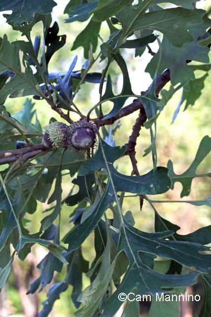 Burr oak acorn and leaves