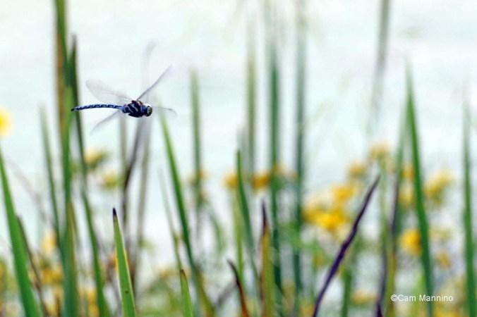 Canada darner flying marsh2