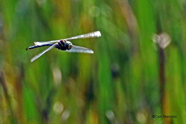 Canada darner in flight2