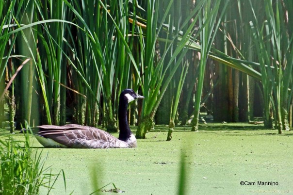 Canada Goose after molting