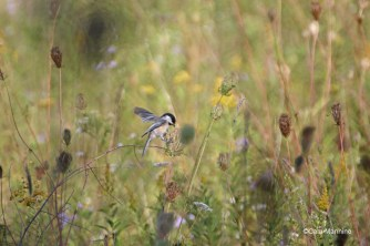 A Black-capped Chickadee (Poecile atricapillus) gathering seed on a windy day.