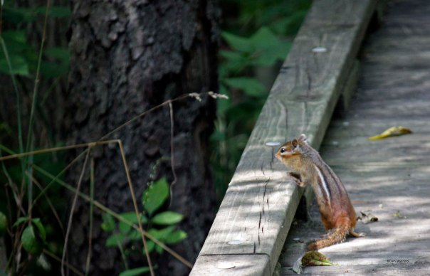 Chipmunk Bear Creek_edited-1