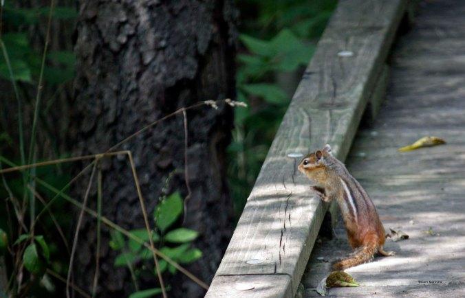 Chipmunk Bear Creek_edited-1