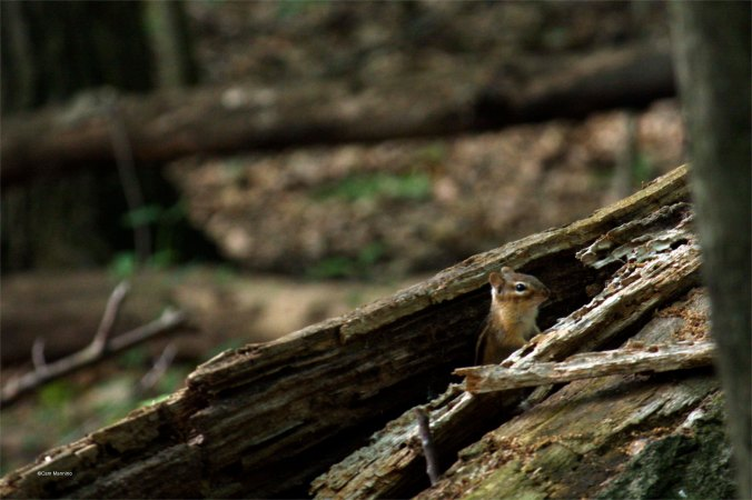 chipmunk in log_2