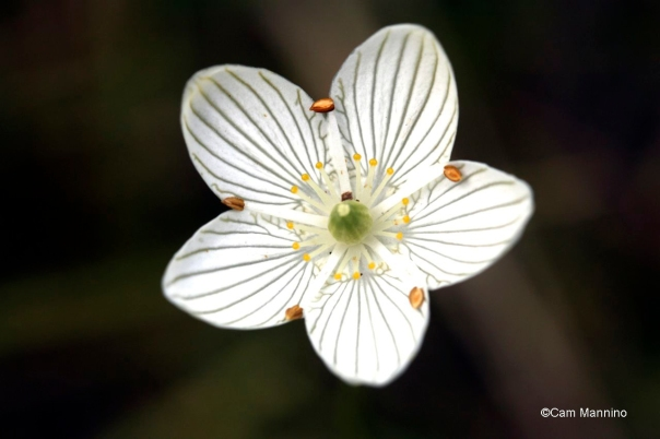 Grass-of-Parnassus