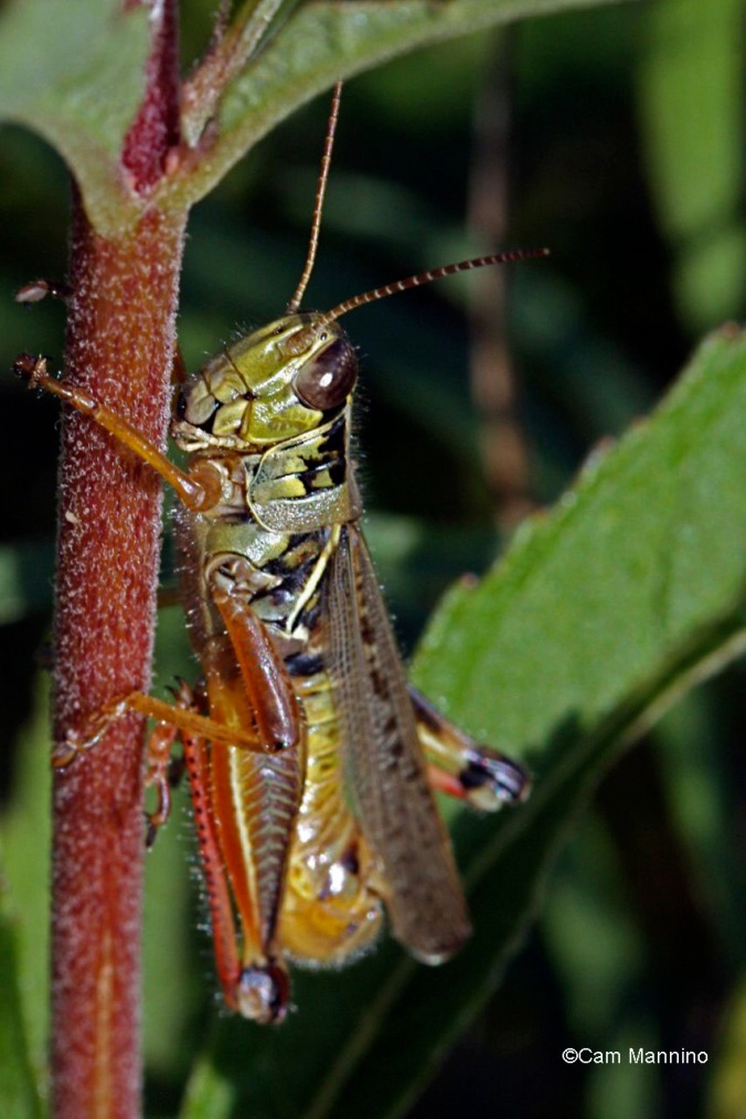 grasshopper on joepye1