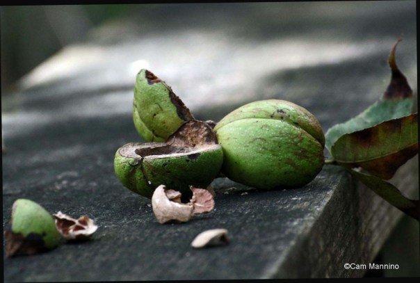 Hickory nut eaten by Squirrel_edited-1