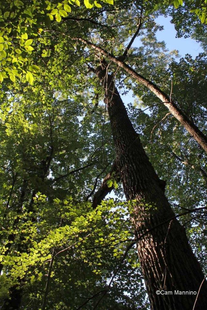 Huge burr oak near Gunn