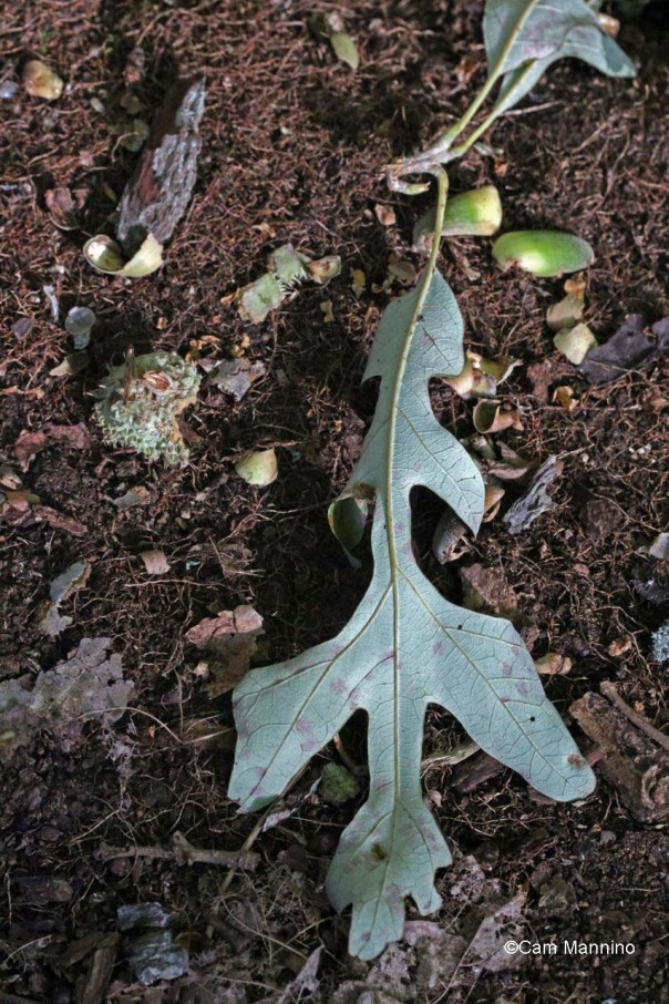 Leaf with burr oak nutshells