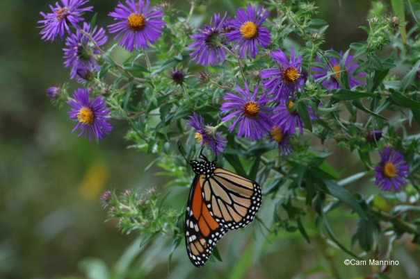 Monarch hanging New England Aster2