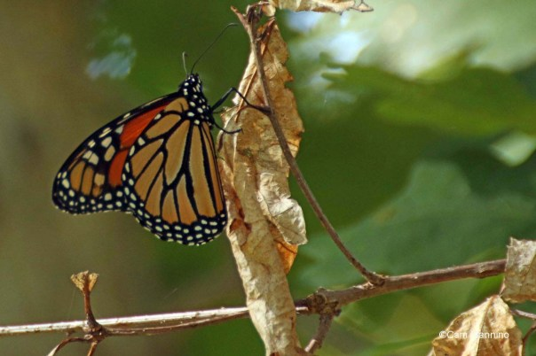 Monarch on dead leaf