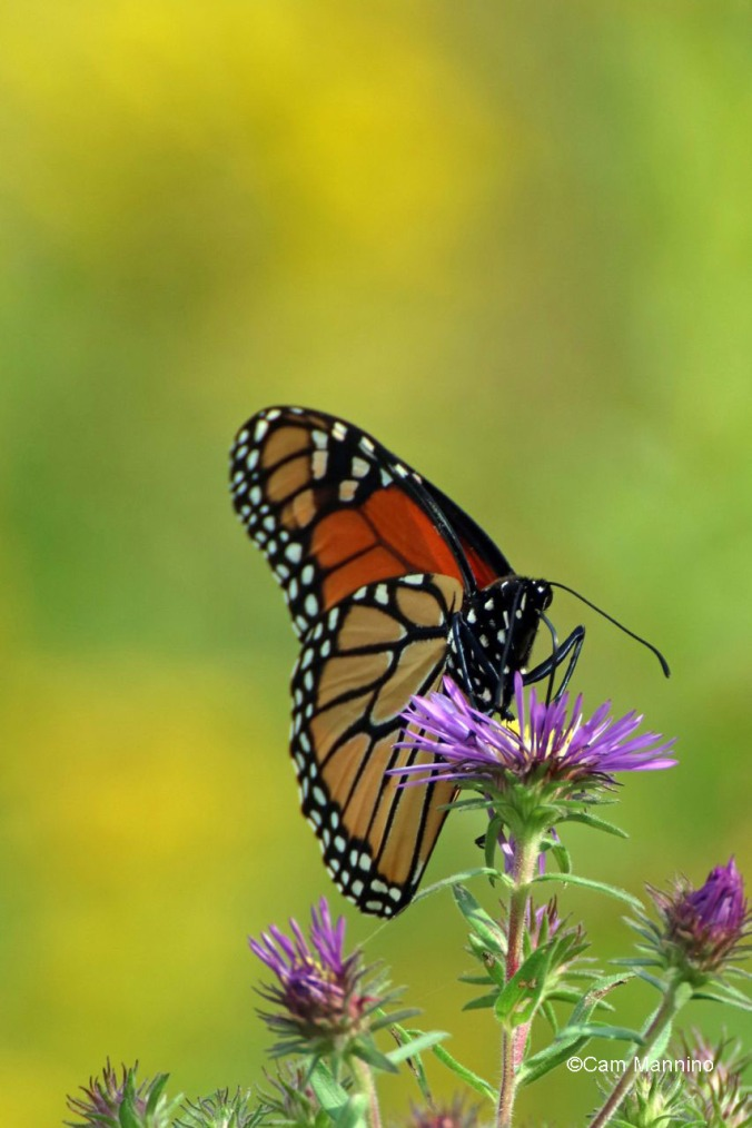 Monarch on New Englans aster