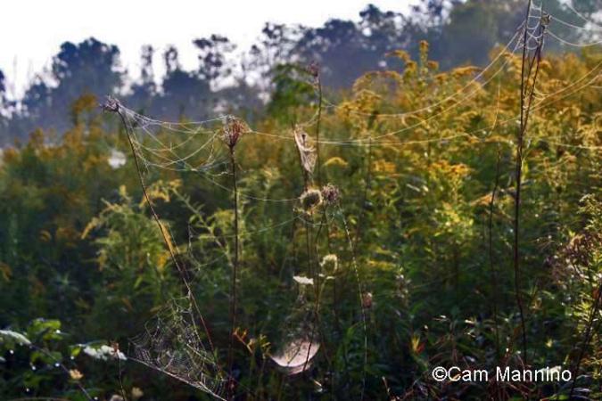 multiple spider webs