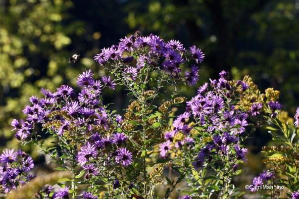 New England aster bouquet