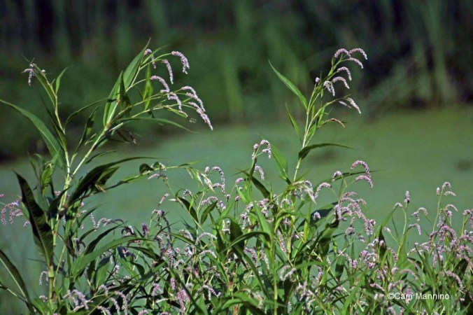 Nodding Smartweed or Willow-weed