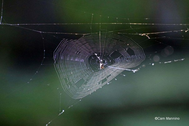 Orb spider web pond near Gunn