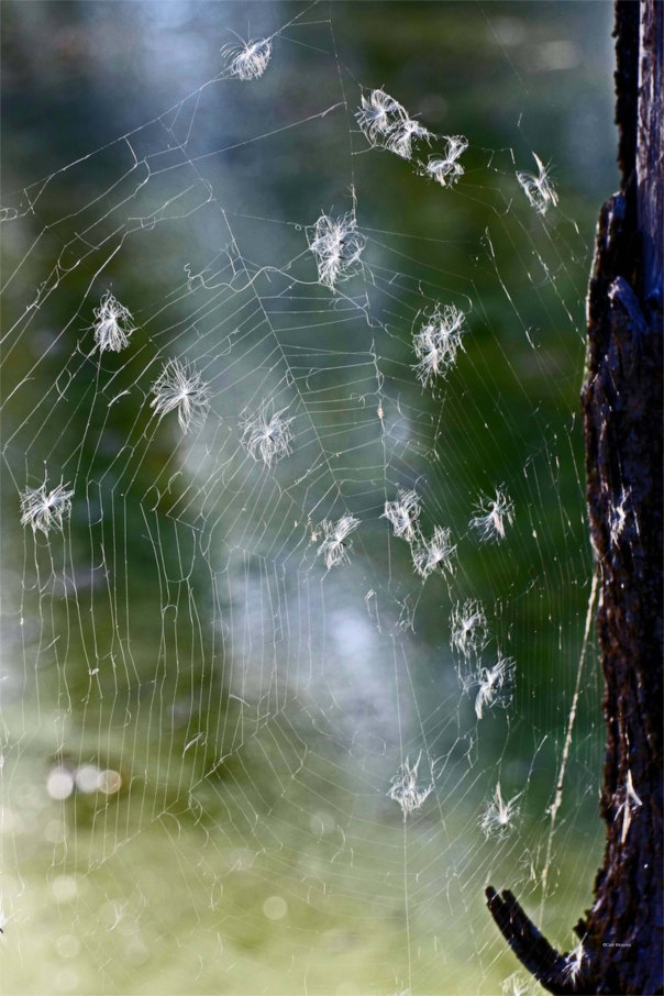 orb spider web with fireweed seeds