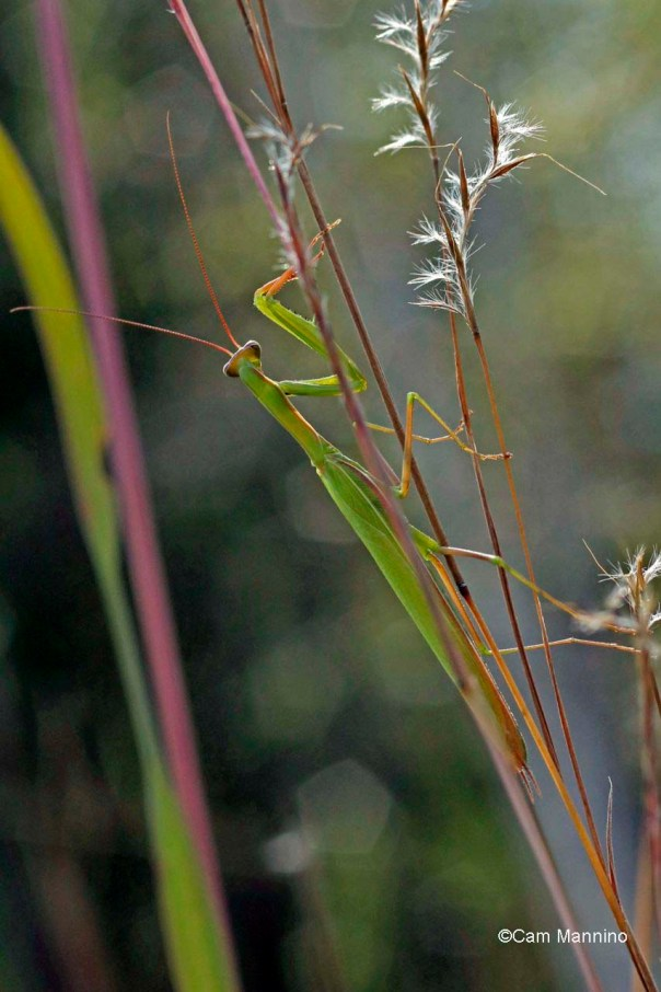 Praying Mantis 2 Wet Prairie