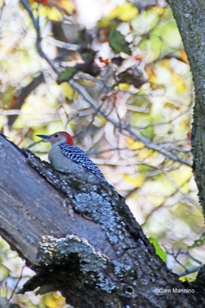 Red bellied woodpecker in tree2