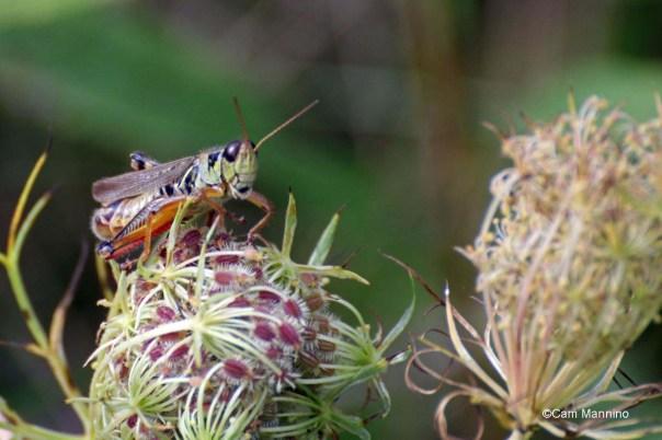 Red-legged grasshopper on Queen Anne
