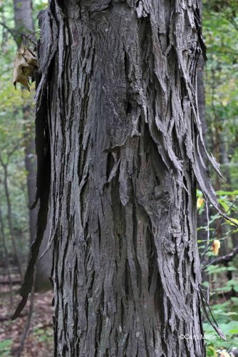 You can see how the Shagbark Hickory got its name.
