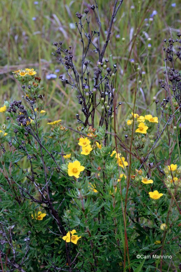 Shrubby cinquefoil native