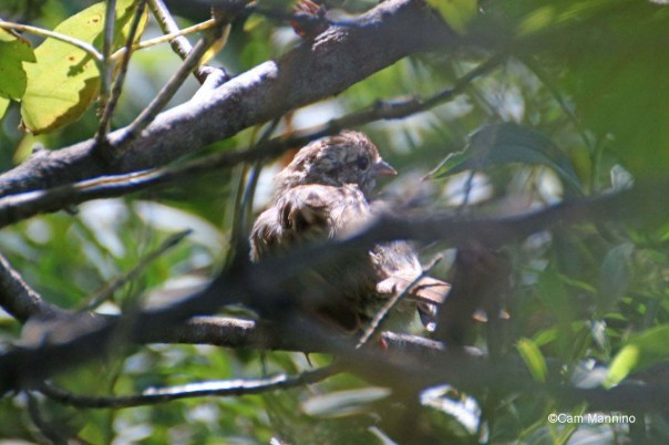 Song sparrow in bush molting