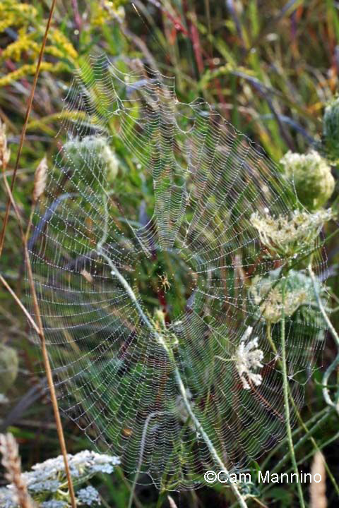 Spider web w spider in middle