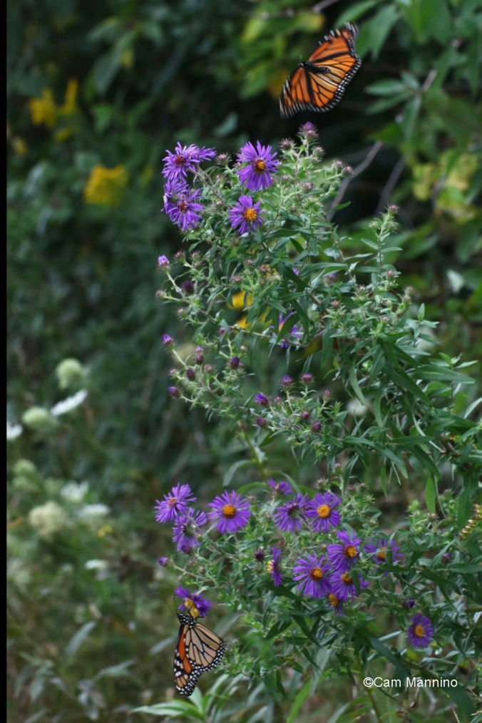 Two monarchs New England Aster