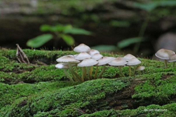 Umbrella mushrooms in colony