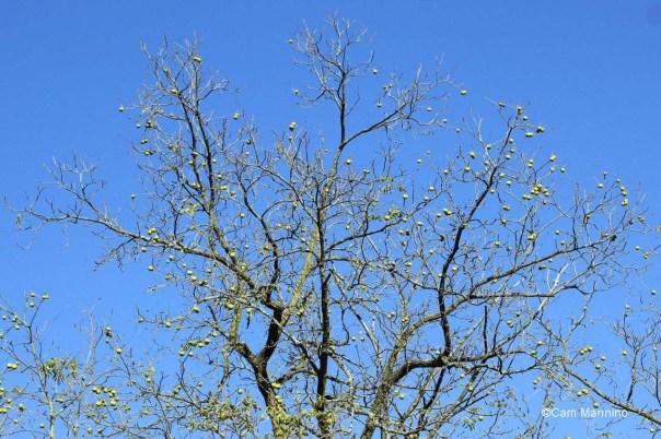 Walnuts in old tree 3