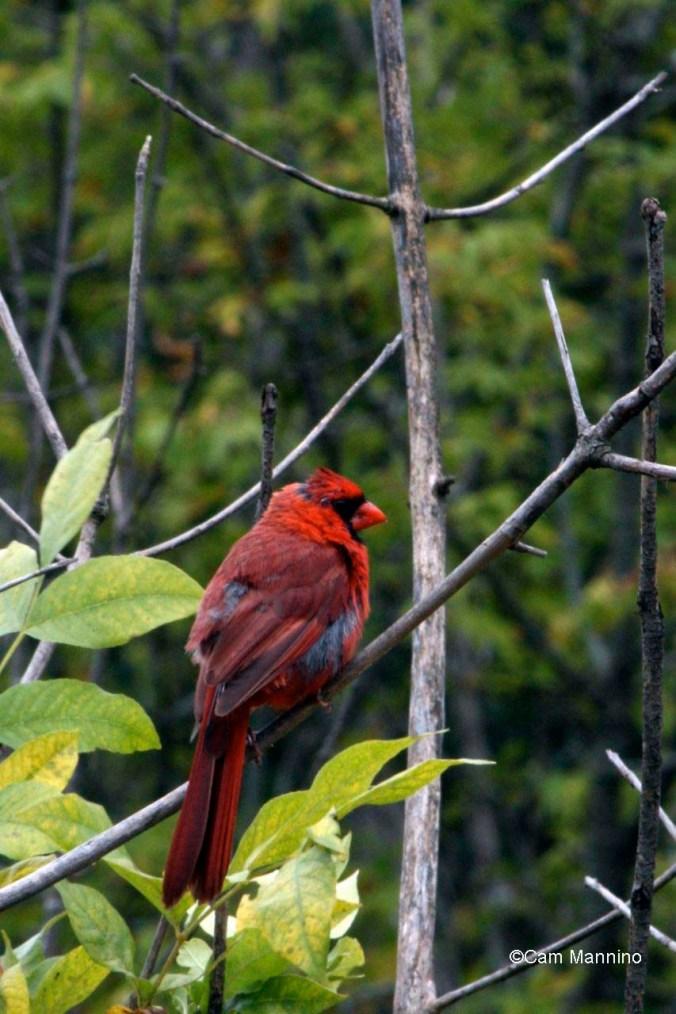 worn out cardinal
