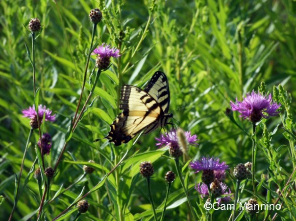 yellow swallowtail 2