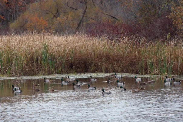 29 Ducks in marsh