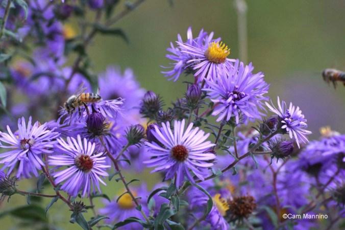 Bees on NE Aster