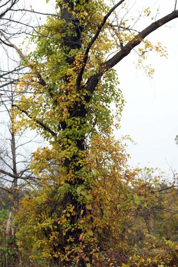 Bittersweet engulfing a walnut tree