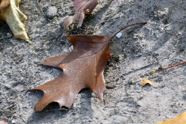 Black oak leaf brown