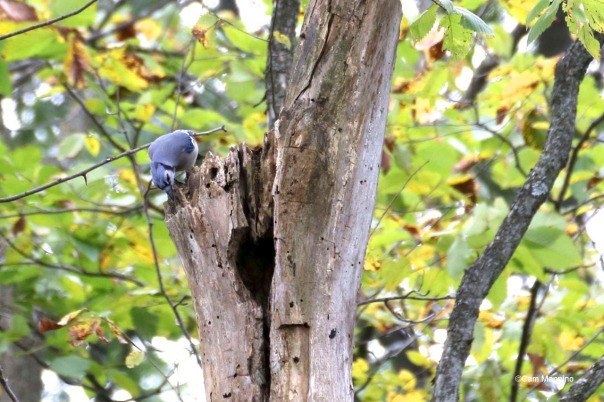 Blue jay checking out hole1