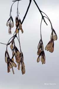 Box-elder samaras seeds