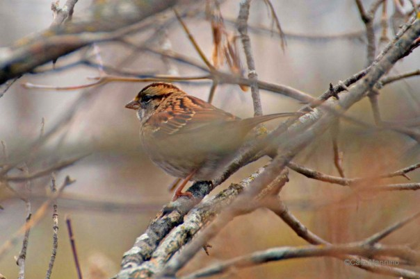 Brown form of White-throated Sparrow