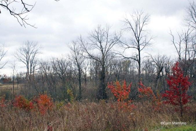 Callery Pear invasive tree